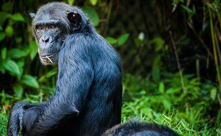 Evidencias de asistencia en el parto entre hembras de bonobo