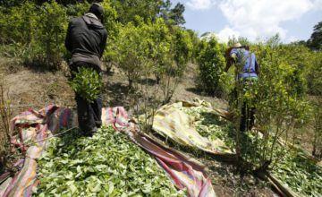 ONU alerta de que cultivos de coca aumentaron a 171.000 hectáreas en Colombia