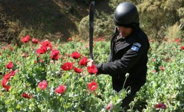 México busca detener el comercio de heroína, pero amapolas no dejan de florecer