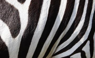 Estudio revela que las rayas de cebras ahuyentan a insectos