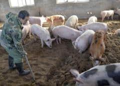 El ébola porcino, el brote en Asia que ya ha obligado a matar a millones de cerdos (y por qué va a empeorar)