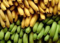 Colombia: declararan emergencia por hongo que afecta banano
