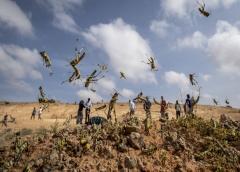 Corriendo contra el tiempo: África del Este enfrenta nueva amenaza de langostas