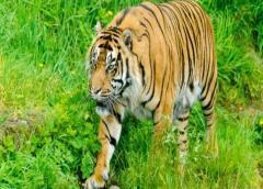 Un tigre en el zoológico del Bronx de Nueva York da positivo por coronavirus