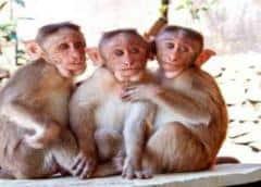 Monos infectados con COVID-19 desarrollan inmunidad en estudios, una señal positiva para vacunas