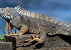 Iguana de 80 libras encontrada en congelador de pizzería en el sur de Florida