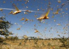 Una plaga de langostas invade una ciudad dormitorio de Nueva Delhi