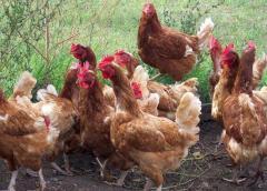 Países Bajos sacrificará 48.000 pollos tras un nuevo brote de gripe aviar