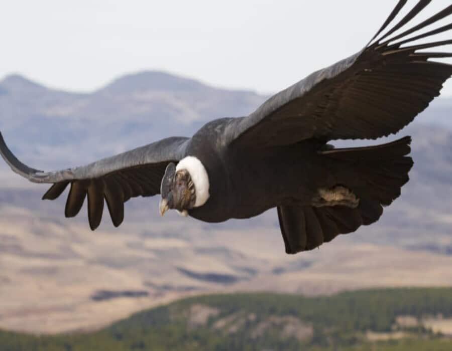 Cóndor de California podría volver al noroeste de EEUU