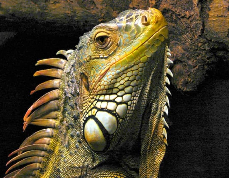 Las iguanas a punto de ser prohibidas como mascotas en Florida. Pero hay manera de que la tuya sea legal