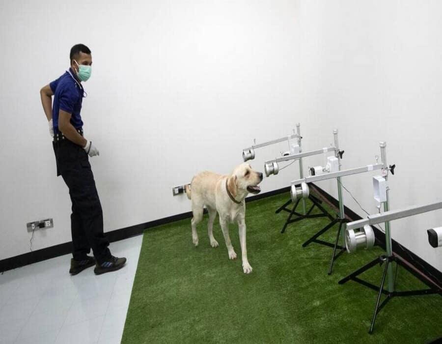 Los perros pueden detectar covid con una precisión de hasta el 94 %