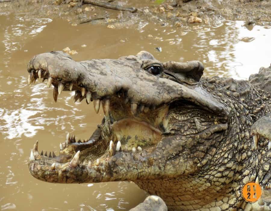 Cruce entre cocodrilo americano y cubano amenaza la especie de la isla, en peligro de extinción
