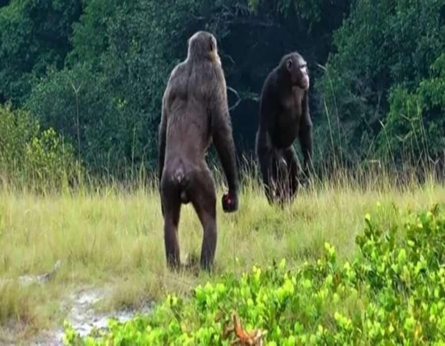 Observan los primeros ataques letales de chimpancés contra gorilas